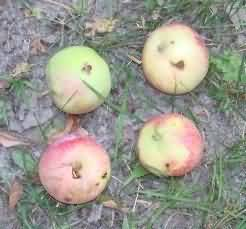 Damaged fruits of Apple due to codling moth infestation