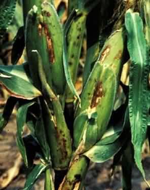 Bacterial Stalk Rot disease of Maize