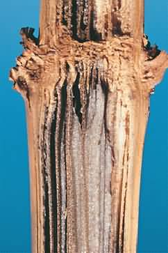 Charcoal rot of Maize