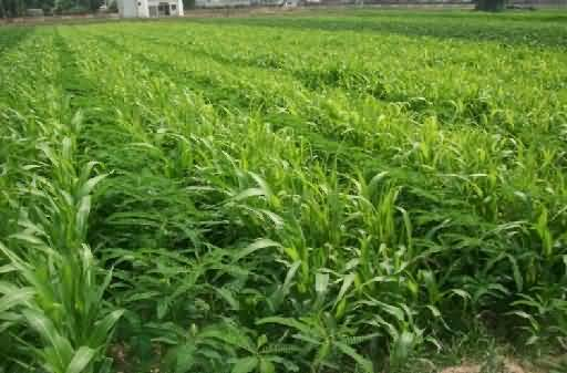 green manure for rice