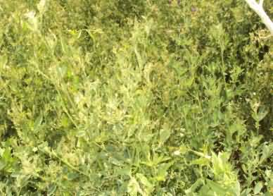 Damage caused by weevil in alfalfa