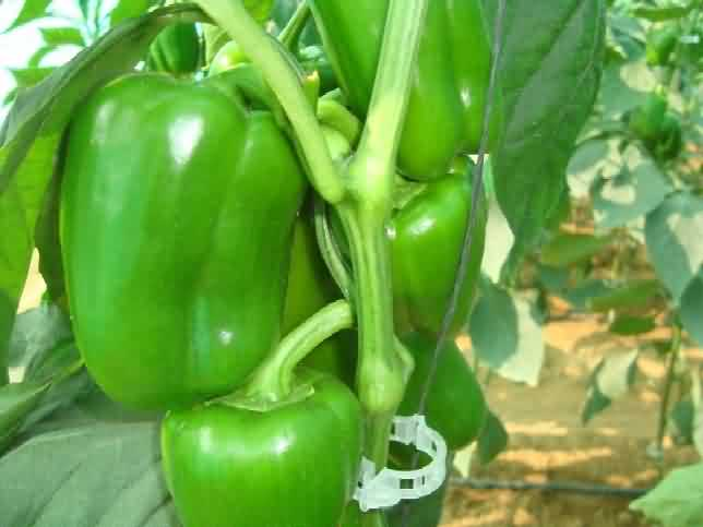Flowering and fruit formation in capsicum crop