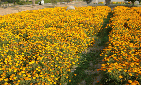 Marigold plants in full blooming stage.