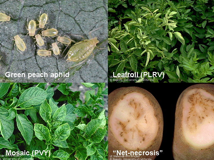Aphid in Potato