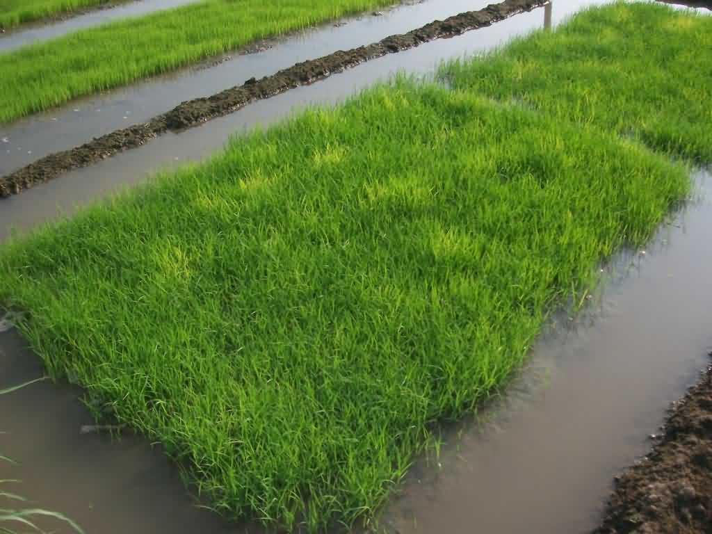 The Wet Bed Nursery of Paddy