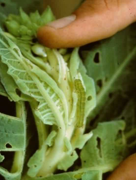 Tobacco crop budworm
