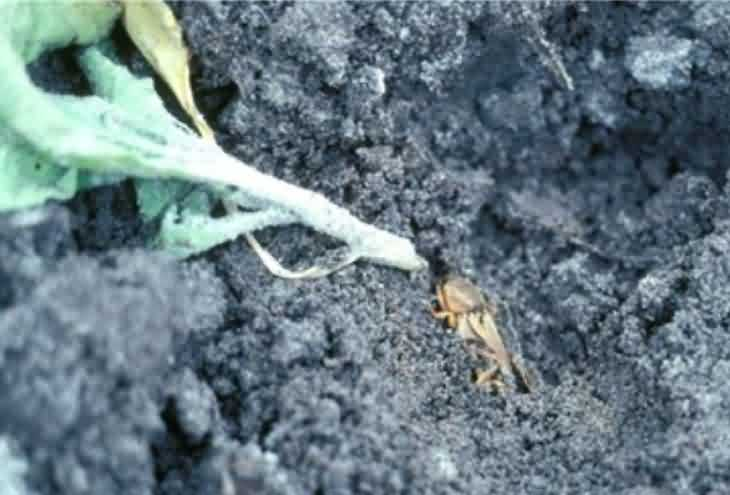 Mole cricket of tobacco crop