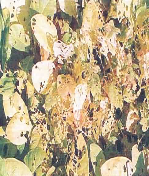 Damage of S. litura in tobacco nursery