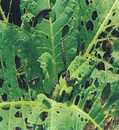 Damage of S. litura in tobacco crop