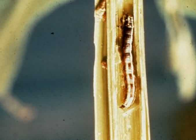 Tobacco stem borer, (Scrobipalpa heliopa Lower)