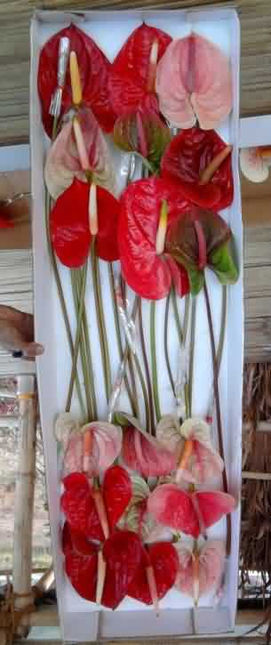 Packaged Anthurium flowers in boxes