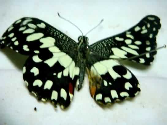 Swallowtail butterfly of Bael