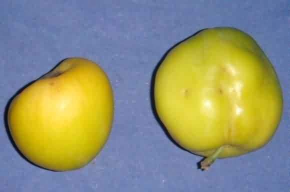 बेर में फल छेदक के खतरे का