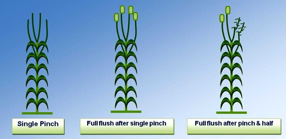 Pinching Methods of Carnation crop