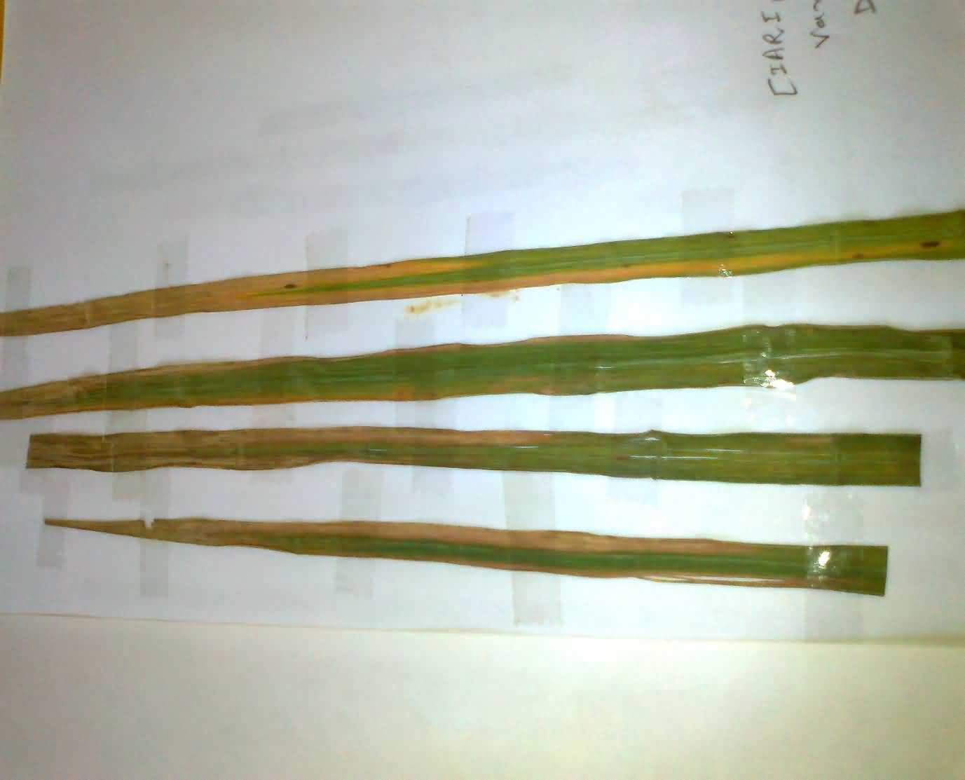 Bacterial Leaf Blight in paddy