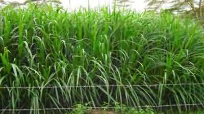 Conserving Fodder in the form of Silage and Hay - Krishisewa