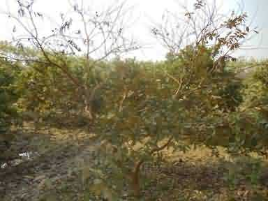 Wilt infestation in guava plant