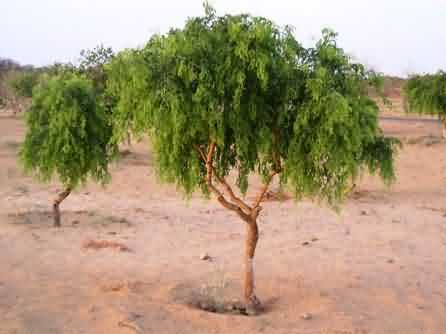 Improved khejri tree