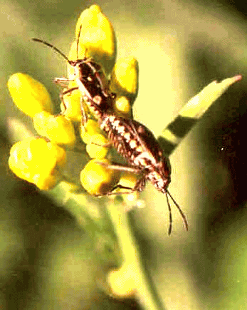 Insects of Mustard crop