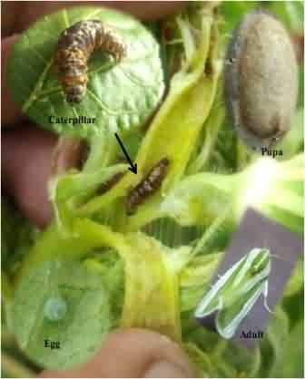 Life stages of  shoot and fruit borer, Earias vittella