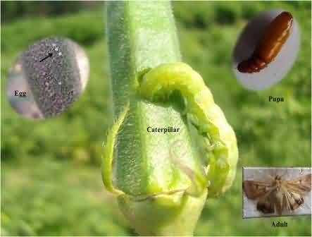 Life stages of Helicoverpa armigera and its damage