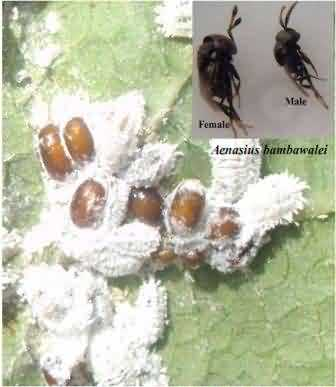 Mealy bugs parasitized with Aenasius bambawalei