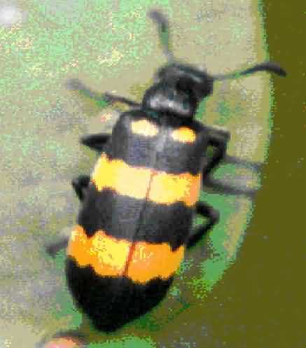 Blister beetle of pulse crop