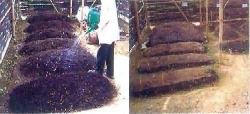vermicompost-Watering of beds and beds covered with gunny bags