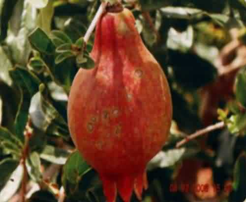Cercospora fruit spot disease in pomegranate