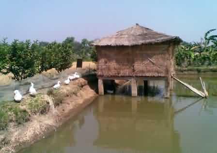 Livestock cum Fishery Integrated Farming System - Krishisewa