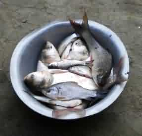 species of fish consumed by the people