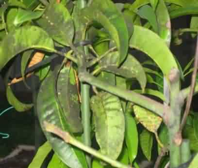 Sooty mould disease of Mango