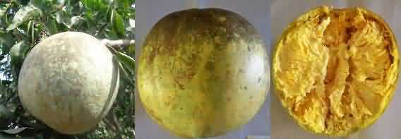 NB5 variety of Bael or wood apple