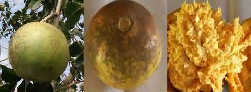 Pant Aparna variety of bael or wood apple