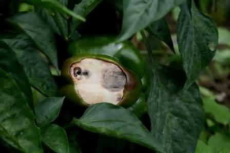 Fig.6 White Papery area on fruit due to sunscald