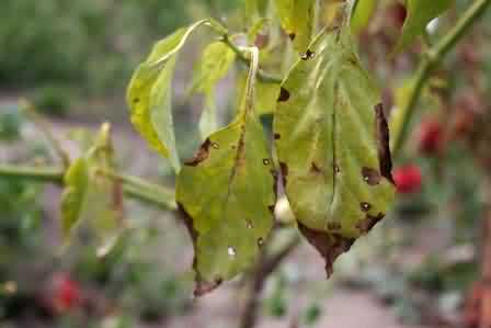 Fig.11 Powdery mildew
