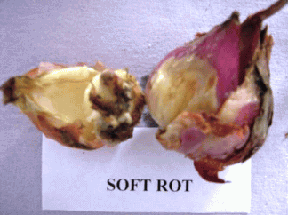 Onion Soft rot