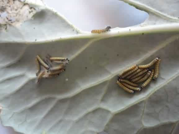 Cabbage butterflies  larval stage feed on leaf