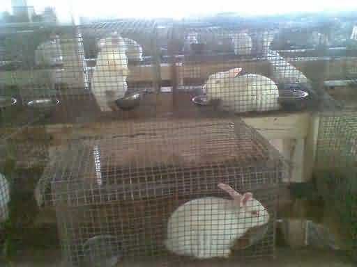 Rabbit in Cage system