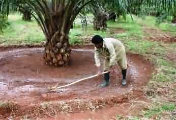 Methods of fertilizer application in Oil Palm