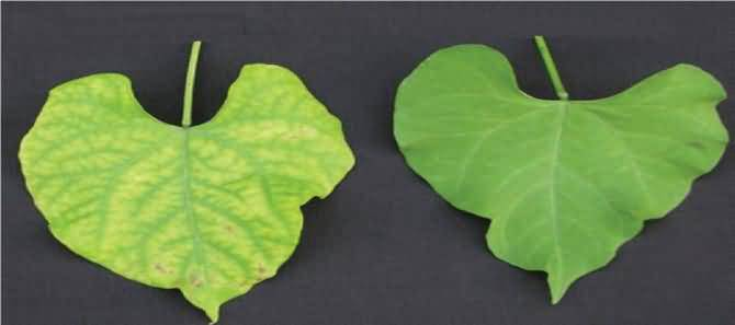 Magnesium deficiency symptoms on common bean leaves