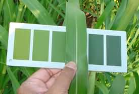 Determination of LCC value by using Leaf colour chart in paddy crop
