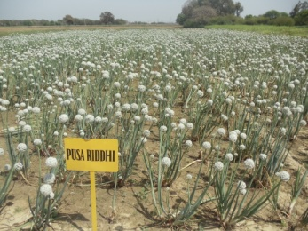 seed crop of onion variety pusa Ridhi