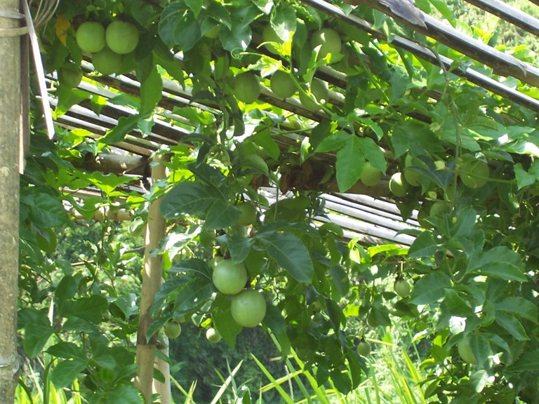 bear fruit passion fruit tree