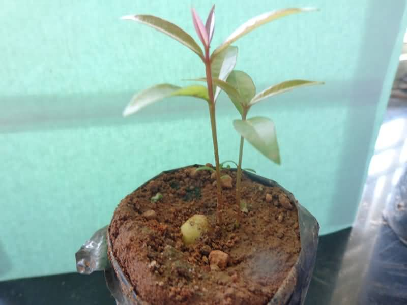 Two seedlings/ seed in rose apple