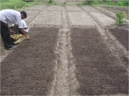 Onion seed sowing in nursery