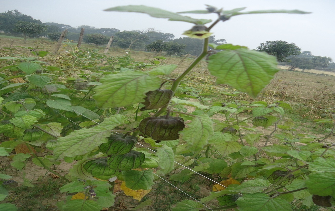 Cape gooseberry plant at fruiting and flowering stage