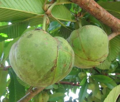 Custard Apple Tree Information In Marathi