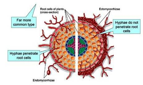 Ecto and Endo mycorrhiza