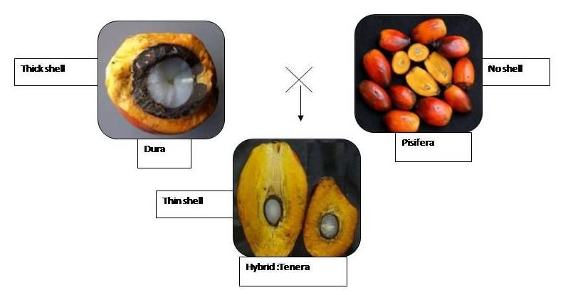 Oil palm fruit types
